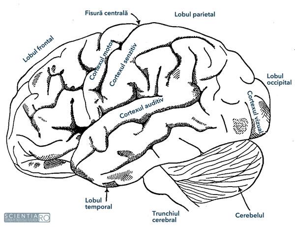 lobul creierului pentru vedere)