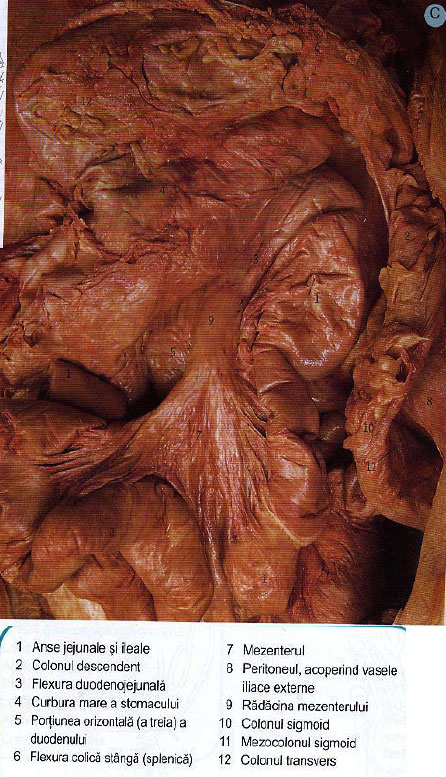 rolul intestinului gros