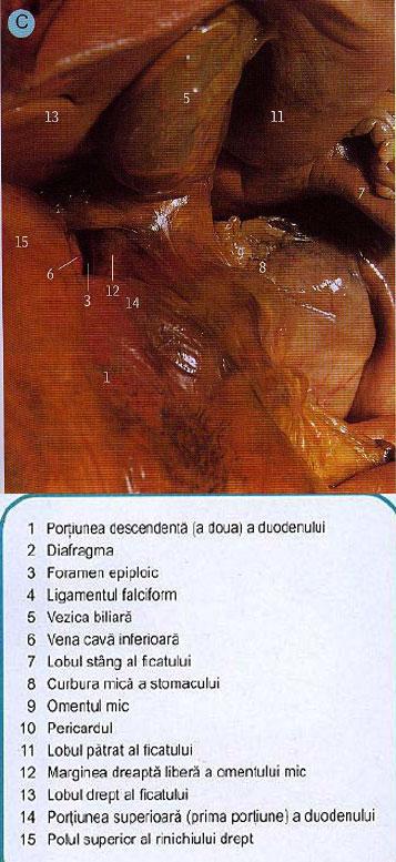 structura sistemului digestiv