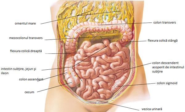 intestinul subtire lungime