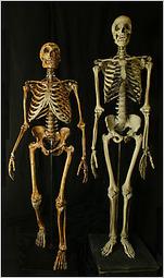 Schelet om de neandertal si de om modern