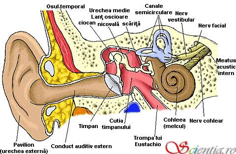 Anatomia urechii umane